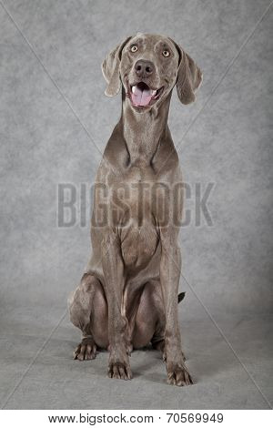 Three Years Old Weimaraner Dog