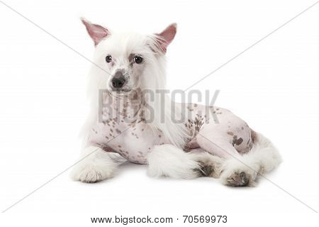 Hairless Chinese Crested Dog Isolated On White