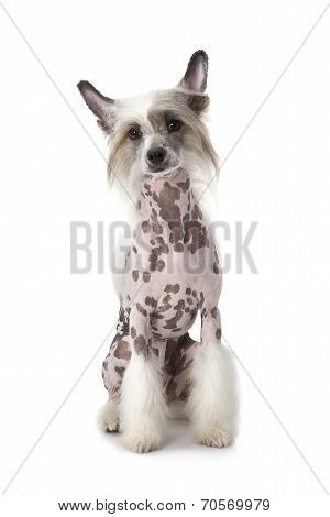 Hairless Chinese Crested Dog Sitting Over White