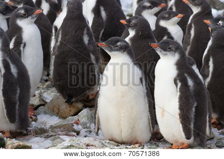 Kindergarten Gentoo Penguin Colony Near