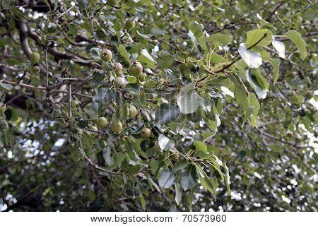 Tasty Pears