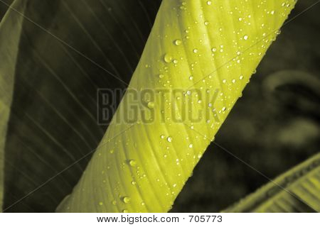 Emerging Banana Leaf
