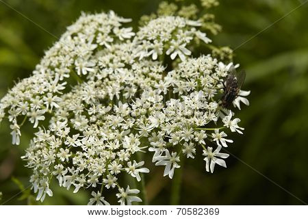 Flora - Blossom Of Deadly Hemlock (conium maculatum)