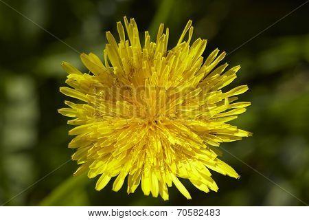 Flora - Common Dandelion (taraxacum Officinale)
