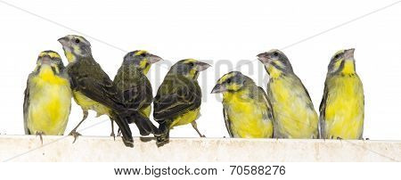 Yellow-fronted Canaries (crithagra Mozambica)