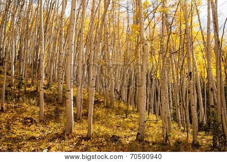 Sunshine On Aspen Glade