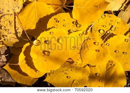 Colorado Aspen Leaves With Raindrops