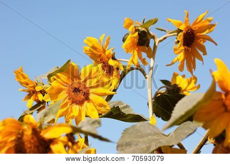Sunflowers in Sunny morning