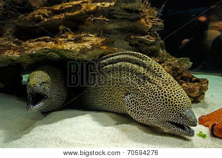 Laced Moray (Gymnothorax Favagineus)