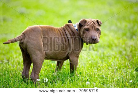 Adorable Shar Pei puppy