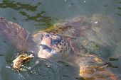 pic of dalyan  - Caretta caretta eating a blue crab in Dalyan Turkey - JPG