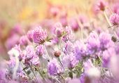 foto of red clover  - Flowering beautiful red clover in meadow - closeup