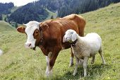stock photo of lamb shanks  - a cow and a sheep are standing on a field - JPG
