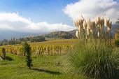 stock photo of pampa  - Pampas grass in a garden in the alps of France with blue sky.