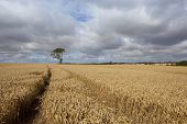 image of ash-tree  - a lone ash tree with golden wheat fields under dramatic skies in the yorkshire wolds - JPG