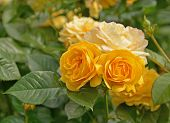 image of climbing roses  - The Rose Garden boast over 3000 varieties - JPG