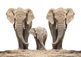 image of jungle animal  - African elephant  - JPG