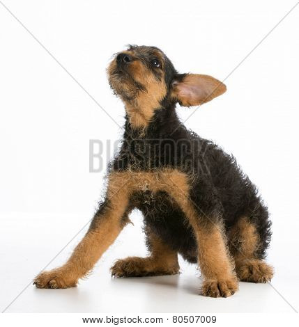 airedale terrier puppy sitting on white background