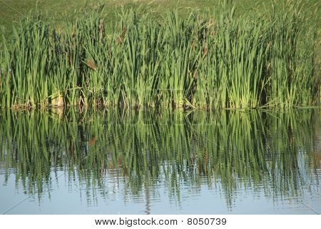 Wild Grass Reflected On Water