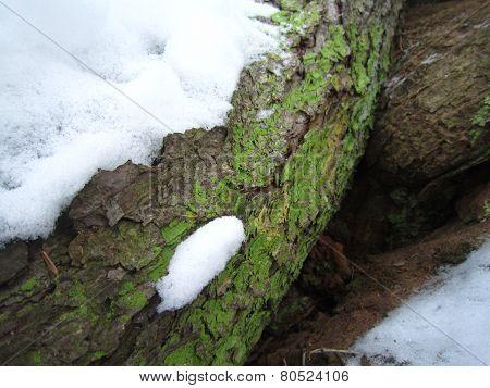 Green algae on spruce