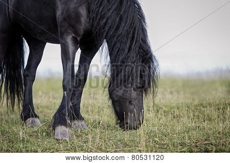 Frisian Horse Grazing