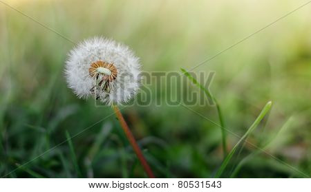 Dandelion in the morning sun