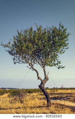 One young olive tree isolated in a countryside field