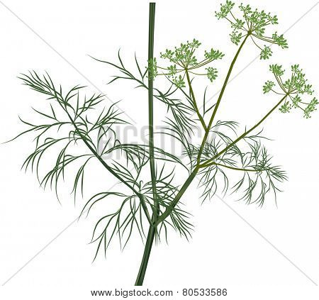 illustration with green dill isolated on white background