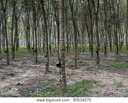 Plantations of rubber trees in Malaysia Langkawi