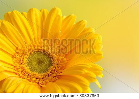 Close up yellow gerbera flower