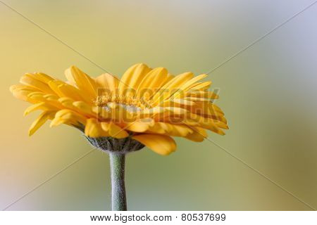 Beautiful yellow gerbera flower