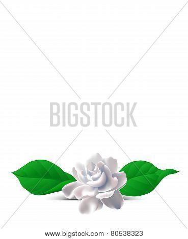 Flower Jasmine