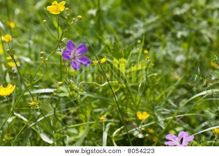 Wood Cranesbill Woodland Geranium