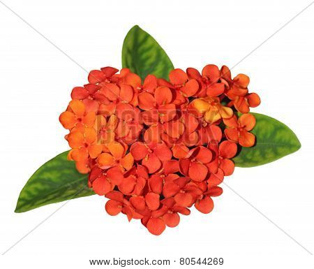 Ixora Coccinea Flower