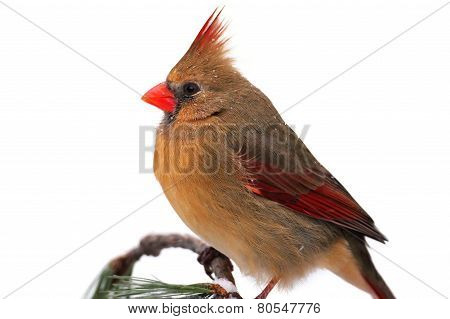 Female Northern Cardinal On White