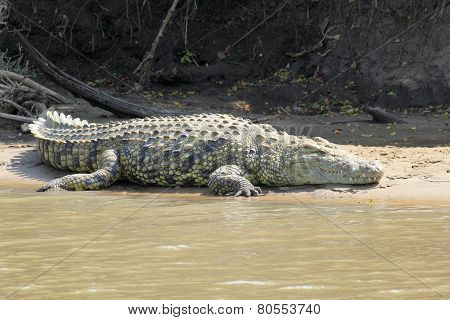 Crocodile Resting Along A River