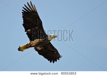 Young Bald Eagle Flying In A Blue Sky