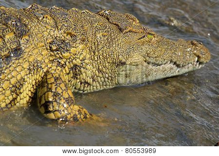 Young Crocodile In Water