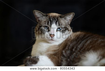 Portrait of cat with blue eyes against a black background