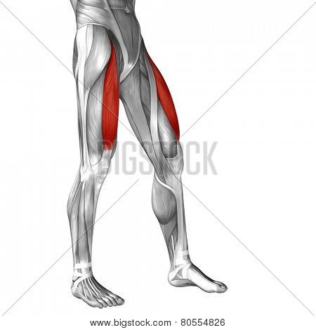 Concept or conceptual 3D rectus femoris human upper leg anatomy or anatomical and muscle isolated on white background