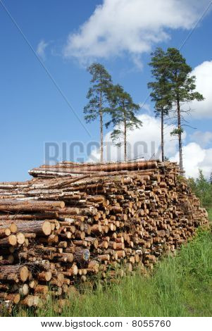 Stack Of Timber Logs In Pine Forest