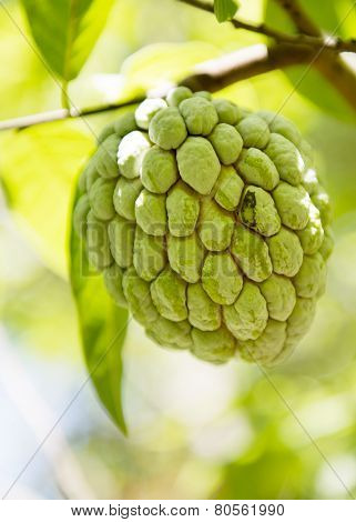 Sugar Apple Or Anon Hanging On A Tree