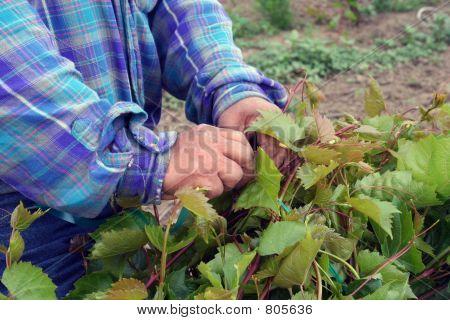 tying_rootstock