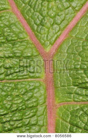Ecuadorian Leaf