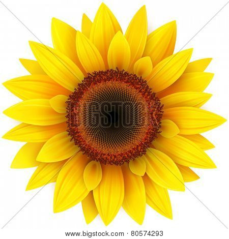Sunflower, realistic vector illustration.