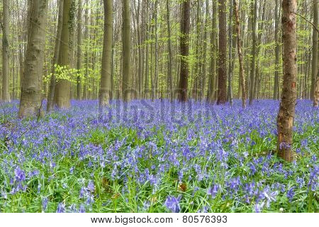 Beech trees showing their first foliage in a springtime bluebells forest