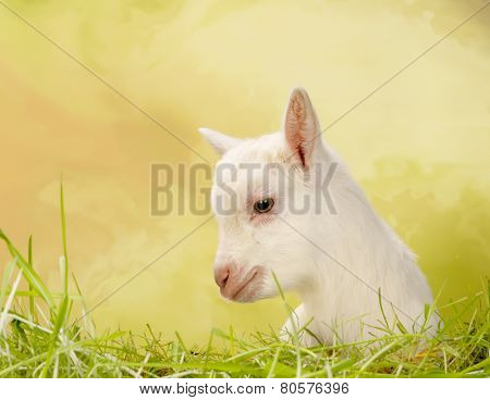 Newborn white baby milk goat lying in grass