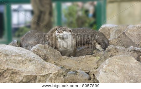 Three Captive Otters Playing
