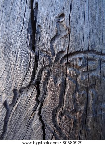 Figures Etched In Wood By Insects