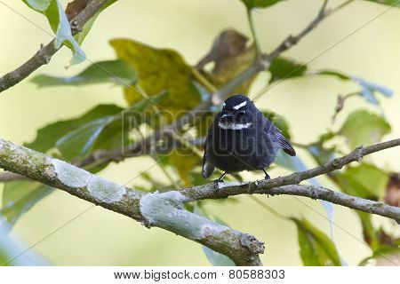 White-throated Fantail Flycatcher Bird In Nepal